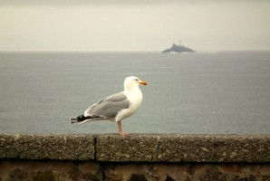 A gull at St Ives - Godrevy lighthouse behind