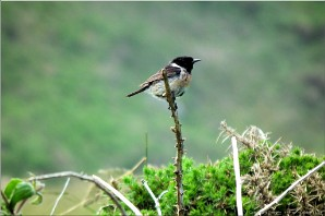 A stonechat at Botallack, Penwith, Cornwall. Photo: Botallack-28953