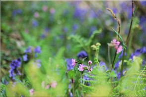Bluebells, near Hayle, Cornwall. Photo Treviscoe_17664