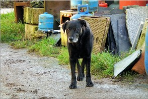Budleigh the dog, Botrea Farm, Cornwall. Photo Botrea-25821