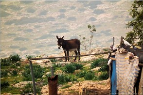 Mule, Al Aqaba village, Palestine. Photo Alaqaba-20682