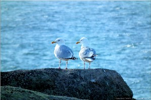 Gulls, Lands End, Cornwall | Landsend-23423